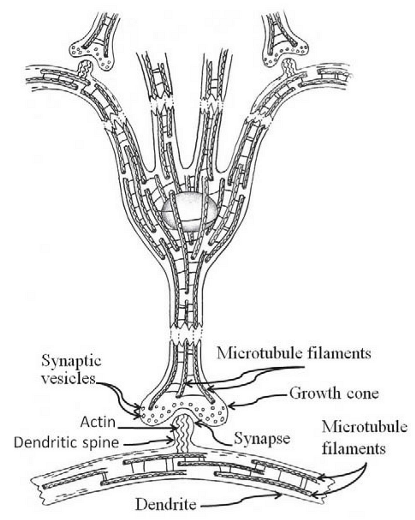 Fig. 2 Network of microtubules in neuron